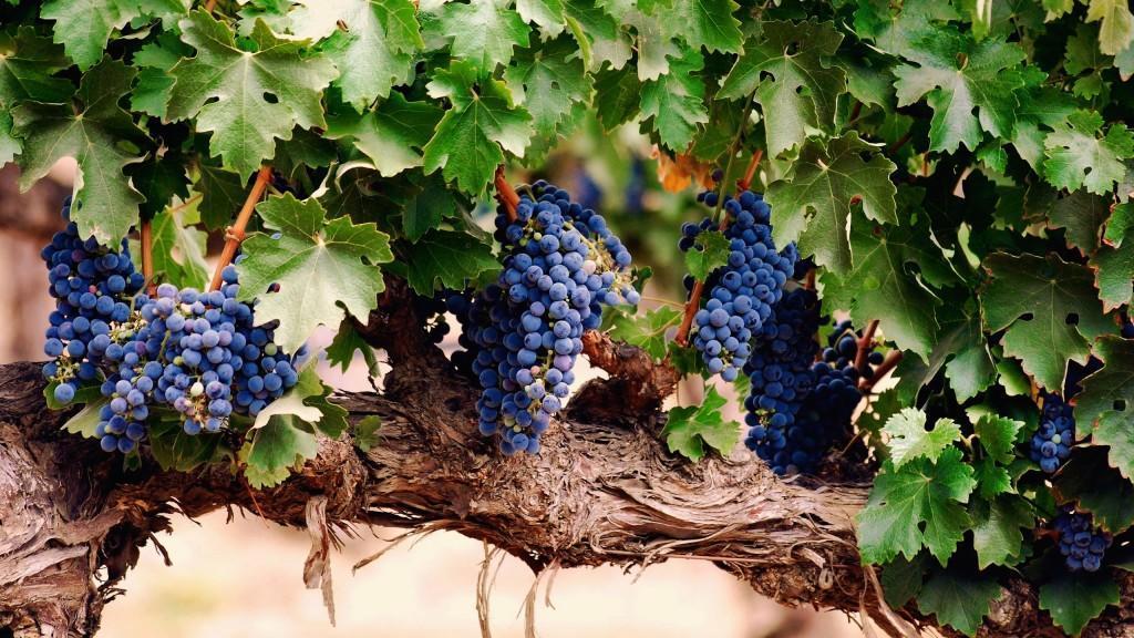 Purple-grape-harvest-season_2560x1440