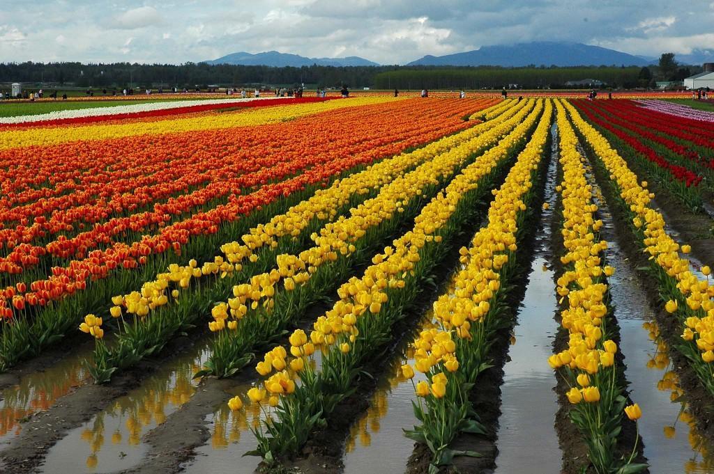tulip-2005-trip-3